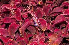Coleus kwiat w jesieni Fotografia Royalty Free