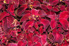 Coleus kwiat w jesieni Obraz Stock