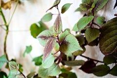 Coleus kwitnienie na ścianie z zielenią opuszcza w świetle słonecznym zdjęcie royalty free