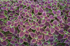 Coleus leaf background Royalty Free Stock Photos