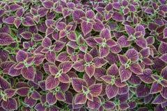 Coleus leaf background Royalty Free Stock Photos