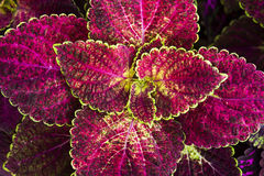 Coleus leaf background Stock Image