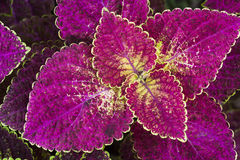 Coleus leaf background. Close up of Coleus leaves (Painted nettle,Flame nettle Stock Photography