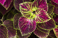 Coleus leaf background Royalty Free Stock Photo