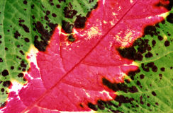 Coleus leaf closeup. A macro closeup of a perennial plant leaf with scientific name Solenostemon. Common name is Coleus. Venation and red green colouring is Royalty Free Stock Images
