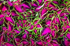 Coleus leaves also called Painted nettle, Flame nettle Royalty Free Stock Photography