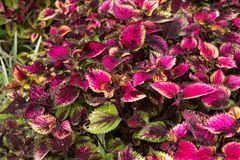 Coleus leaves, Background of colorfully leaves, Colored leaves on a bush. Coleus leaves, Background of colorfully leaves, Design from the nature Stock Photos