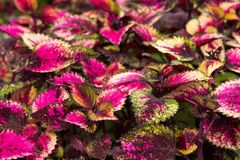 Coleus leaves, Background of colorfully leaves, Colored leaves on a bush. Background of colorfully leaves, Colored leaves on a bush Stock Images