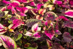 Coleus leaves, Background of colorfully leaves, Colored leaves on a bush. Background of colorfully leaves, Colored leaves on a bush Stock Photography
