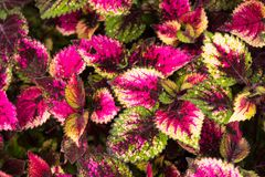 Coleus leaves, Background of colorfully leaves, Colored leaves on a bush. Coleus leaves, Background of colorfully leaves, Design from the nature Royalty Free Stock Photos