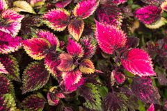 Coleus leaves, Background of colorfully leaves, Colored leaves on a bush. Coleus leaves, Background of colorfully leaves, Design from the nature Stock Image
