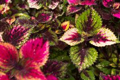 Coleus leaves, Background of colorfully leaves, Colored leaves on a bush. Coleus leaves, Background of colorfully leaves, Design from the nature Royalty Free Stock Image
