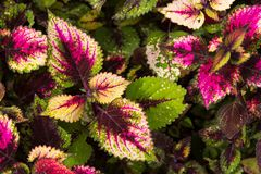 Coleus leaves, Background of colorfully leaves, Colored leaves on a bush. Coleus leaves, Background of colorfully leaves, Design from the nature Royalty Free Stock Photo