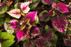 Coleus leaves, Background of colorfully leaves, Colored leaves on a bush. Coleus leaves, Background of colorfully leaves, Design from the nature Royalty Free Stock Images