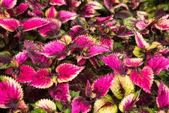 Coleus leaves, Background of colorfully leaves, Colored leaves on a bush. Coleus leaves, Background of colorfully leaves, Design from the nature Royalty Free Stock Photography