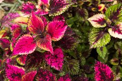 Coleus leaves, Background of colorfully leaves, Colored leaves on a bush. Coleus leaves, Background of colorfully leaves, Design from the nature Stock Images