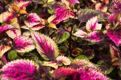 Coleus leaves, Background of colorfully leaves, Colored leaves on a bush. Coleus leaves, Background of colorfully leaves, Design from the nature Stock Photography