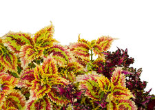 Coleus leaves Royalty Free Stock Photo