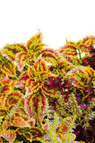 Coleus leaves Royalty Free Stock Photography