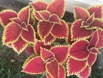 Coleus leaves large plant Stock Image