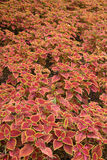 Coleus leaves (Painted nettle,Flame nettle) Royalty Free Stock Image