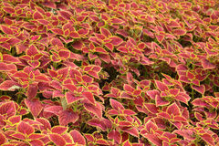 Coleus leaves (Painted nettle,Flame nettle) Stock Image