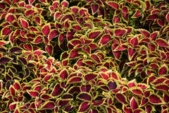 Coleus leaves Royalty Free Stock Photo
