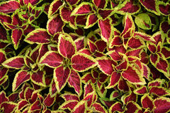 Coleus leaves Royalty Free Stock Image