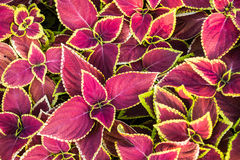 Coleus leaves pattern Royalty Free Stock Image