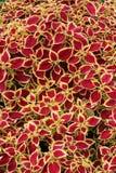 Coleus leaves Stock Image
