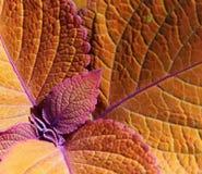 Coleus Leaves Stock Photo