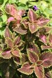 Coleus liść w zwrotnika ogródzie Obraz Royalty Free
