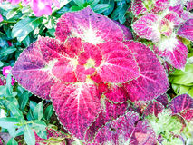 Coleus Royalty Free Stock Photography