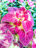 Coleus Royalty Free Stock Photo