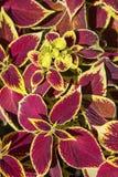 Coleus ogródu kwiatu tapeta Obrazy Royalty Free