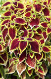 Coleus or ornamental nettle. Nettle or colorful gypsy is an annual plant that grows 30 to 60 cm and is interesting because of the live-colorful foliage that royalty free stock photography