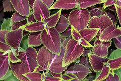 Coleus or Painted Nettle Stock Images