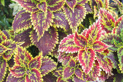 Coleus or Painted Nettle background Stock Photo