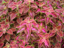 Coleus or Painted Nettle background Royalty Free Stock Photo