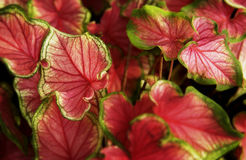 Coleus plant Royalty Free Stock Photography