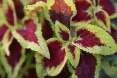 Coleus plant Stock Photos