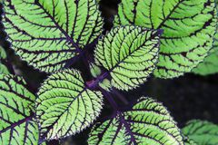Coleus plant royalty free stock images