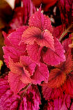 Coleus Plant Stock Photography