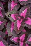Coleus plant Royalty Free Stock Image