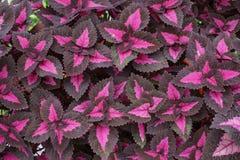 Coleus plant Royalty Free Stock Photos