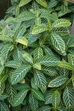 Coleus plant Stock Photography
