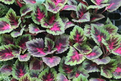 coleus plant  arranged in order Stock Photo