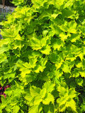 Coleus plant backgroun greenery Royalty Free Stock Images