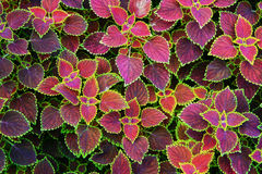Coleus plant. Close-up picture in the Sri Lanka garden Royalty Free Stock Photos
