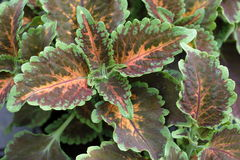 Coleus plant. Colored coleus plant leaves from the particular design Stock Image